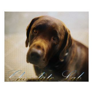 Chocolate Lab Posters