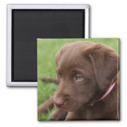 Chocolate Lab Pup Magnet