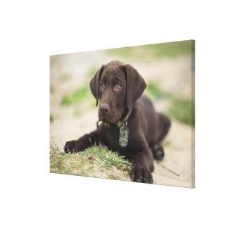 Chocolate Lab Puppy Canvas Print