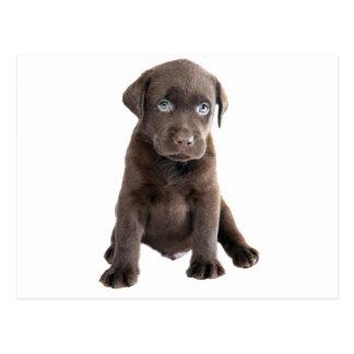 Chocolate Lab Puppy Postcard