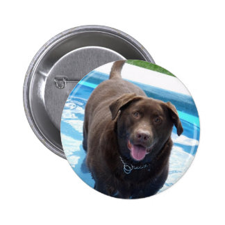 Chocolate Labrador having fun in a swimming pool Pinback Button