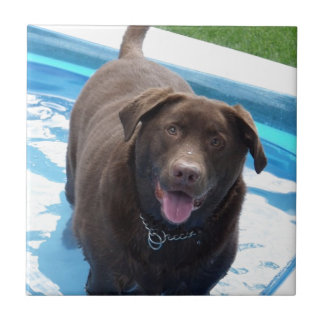 Chocolate Labrador having fun in a swimming pool Tile