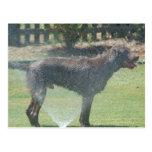 Chocolate Labrador III Postcard