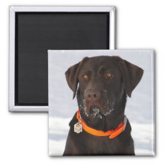 Chocolate Labrador Magnet Magnets