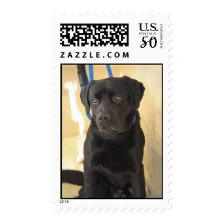 Chocolate Labrador/Mastiff Postage Stamps