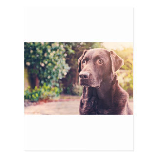 Chocolate Labrador Portrait Postcard