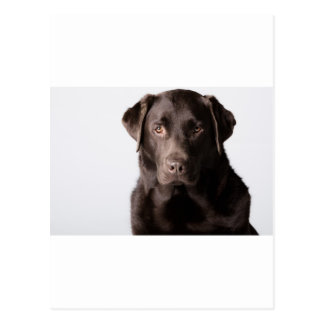 Chocolate Labrador Postcard