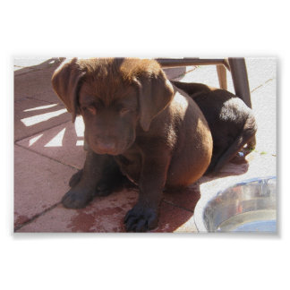 Chocolate Labrador Puppies Poster