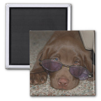 Chocolate Labrador Puppy  Magnet