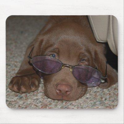 chocolate labrador puppies. Chocolate Labrador Puppy