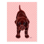 Chocolate Labrador Puppy Postcards