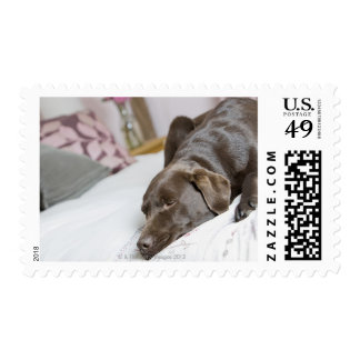 Chocolate Labrador que duerme en cama Sellos Postales