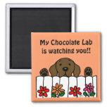 Chocolate Labrador que le mira Imanes