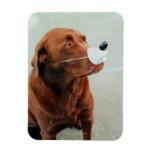 Chocolate Labrador que lleva una nariz falsa Imán Rectangular