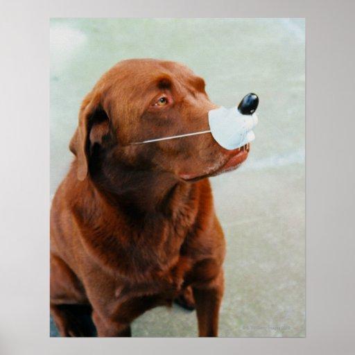 Chocolate Labrador que lleva una nariz falsa Poster