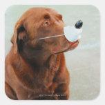 Chocolate Labrador que lleva una nariz falsa Calcomanía Cuadradas