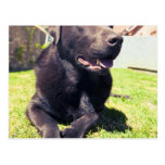 Chocolate Labrador que se relaja en el jardín en u Postal