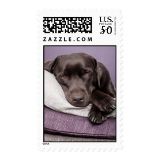 Chocolate labrador retriever dog sleepy on pillows postage
