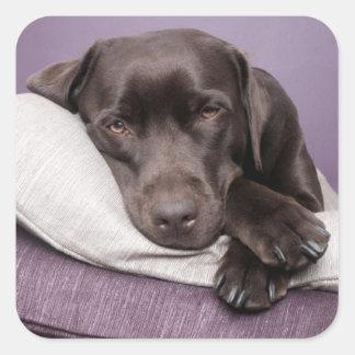 Chocolate labrador retriever dog sleepy on pillows square sticker