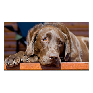 Chocolate Labrador Retriever Photograph Double-Sided Standard Business Cards (Pack Of 100)