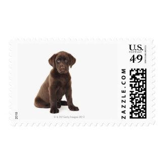 Chocolate Labrador Retriever Puppy Postage