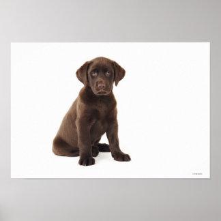 Chocolate Labrador Retriever Puppy Poster