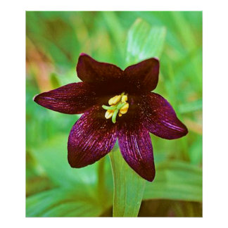 Chocolate Lilly Posters