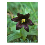 Chocolate Lily Post Cards