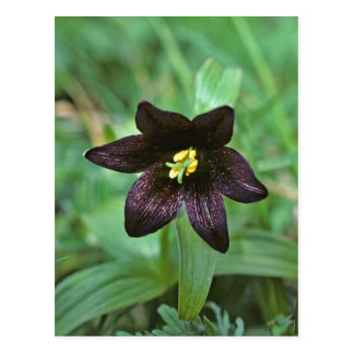 Chocolate Lily Postcard