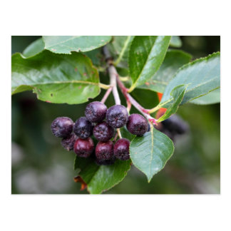 Chokeberries negros tarjetas postales