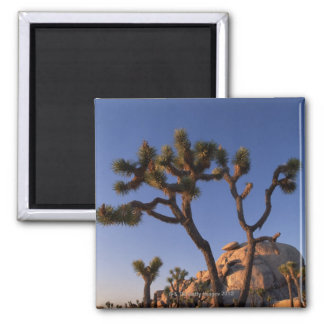 Cholla cactus and Cap Rock , Joshua Tree 2 Inch Square Magnet
