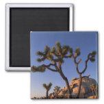 Cholla cactus and Cap Rock , Joshua Tree Fridge Magnets
