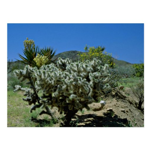 Cholla Cactus And Flowering Yucca flowers Post Card
