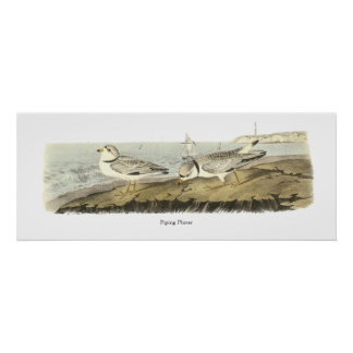 Chorlito aflautado, Juan Audubon Poster