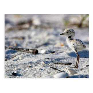 Chorlitos nevados jovenes (alexandrinus del tarjetas postales