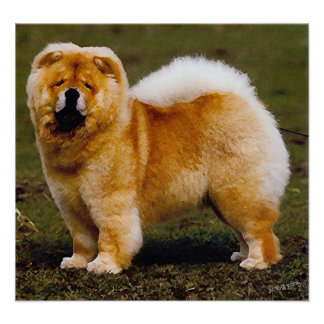 Chow Chow Dog Portrait Poster Print