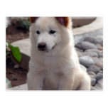 Chow Puppies Postcard
