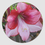 Christmas Amaryllis Red and White Holiday Floral Classic Round Sticker