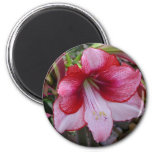 Christmas Amaryllis Red and White Holiday Floral Magnet