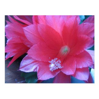 Christmas Cactus Flowers Postcards