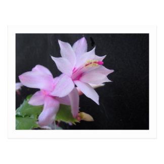 Christmas Cactus, photograph Postcard