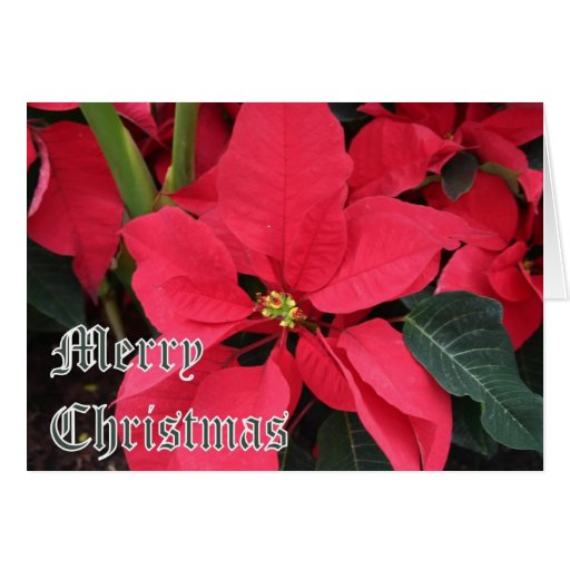 Christmas Card with Poinsettias and Merry Christma
