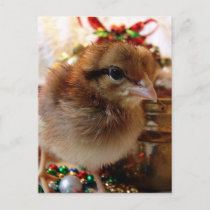Christmas Chick 3 Holiday Postcard