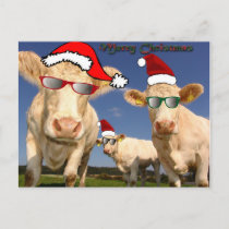 Christmas Cows Postcard