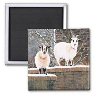 Christmas Goats Magnet