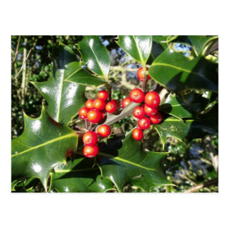 Christmas Holly Berries On Holly Tree Postcard