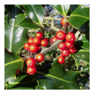 Christmas Holly Berries On Holly Tree Poster
