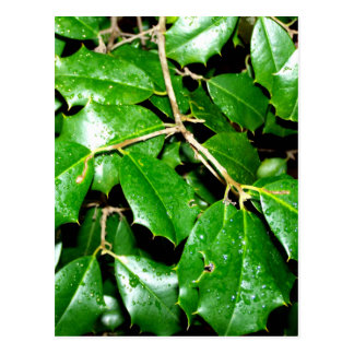 Christmas Holly Leaves Postcard
