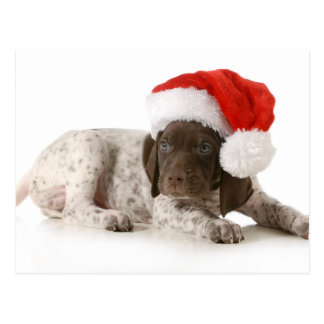 Christmas Puppy - German Shorthaired Pointer Postcard