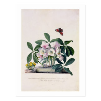 Christmas Rose (Helleborus niger) and Winter Aconi Postcard